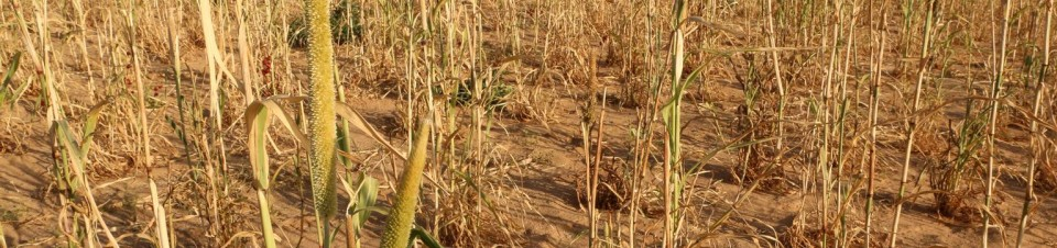 Healthy and withered millet stalks stand in a field on the outskirts of Kelingan Village in  Ouaddaï Region