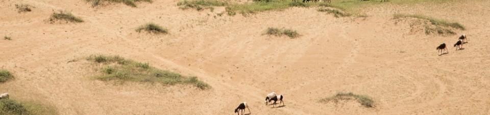 Herd of sheep, Niamey region